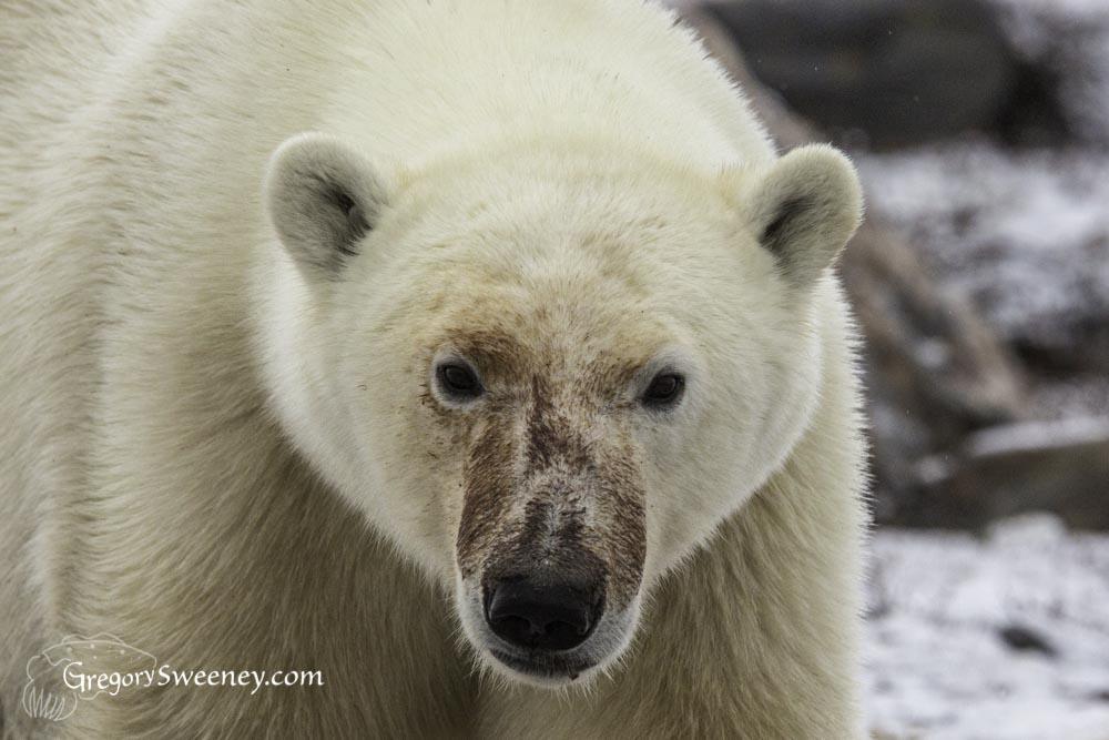 polar bear face