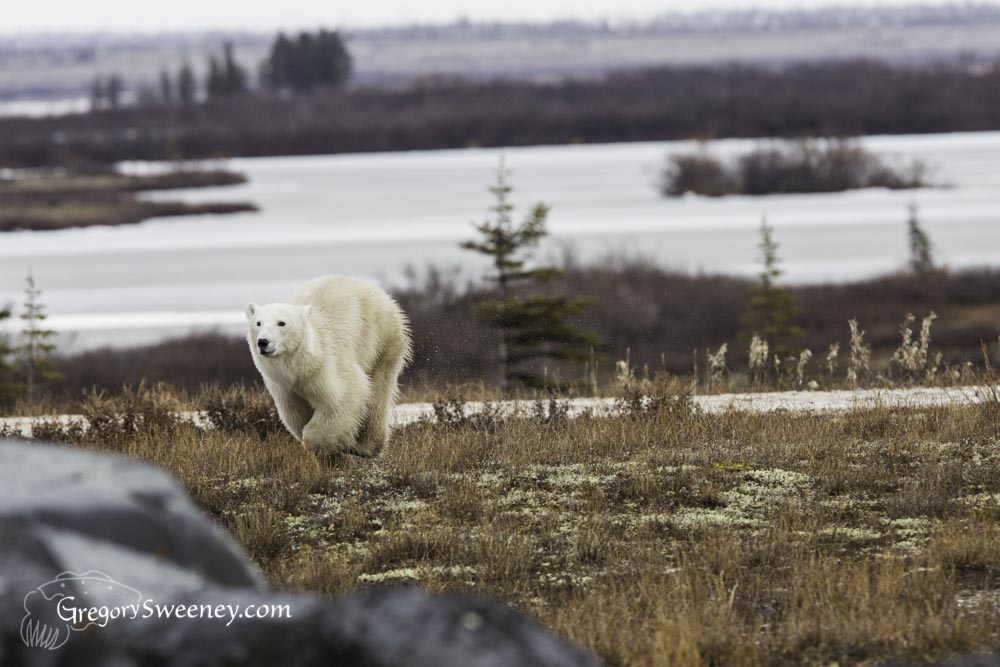 polar bear running