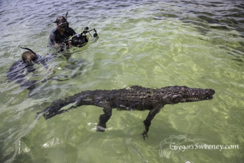 photographing crocodiles in Chinchorro Mexico