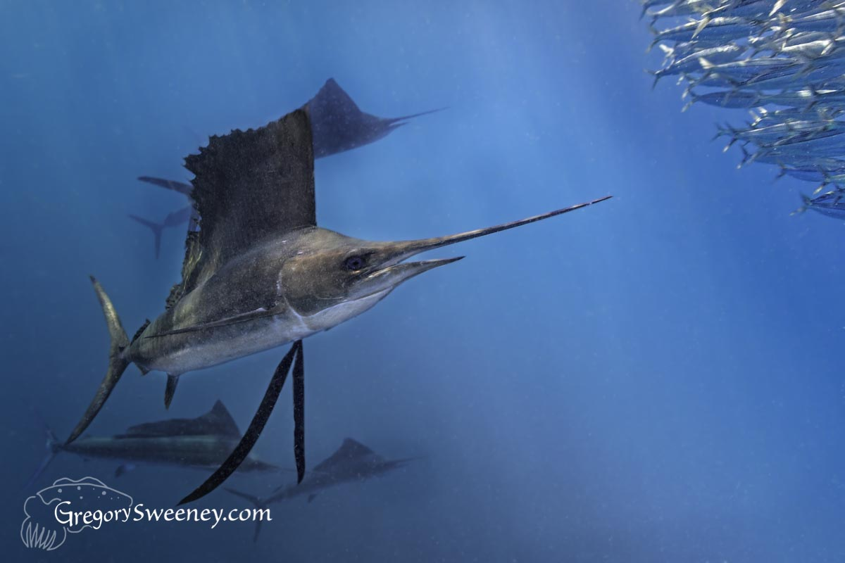 Swim with sailfish Mexico