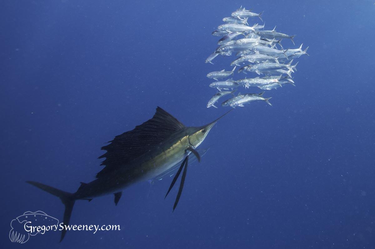 sailfish and sardine run mexico