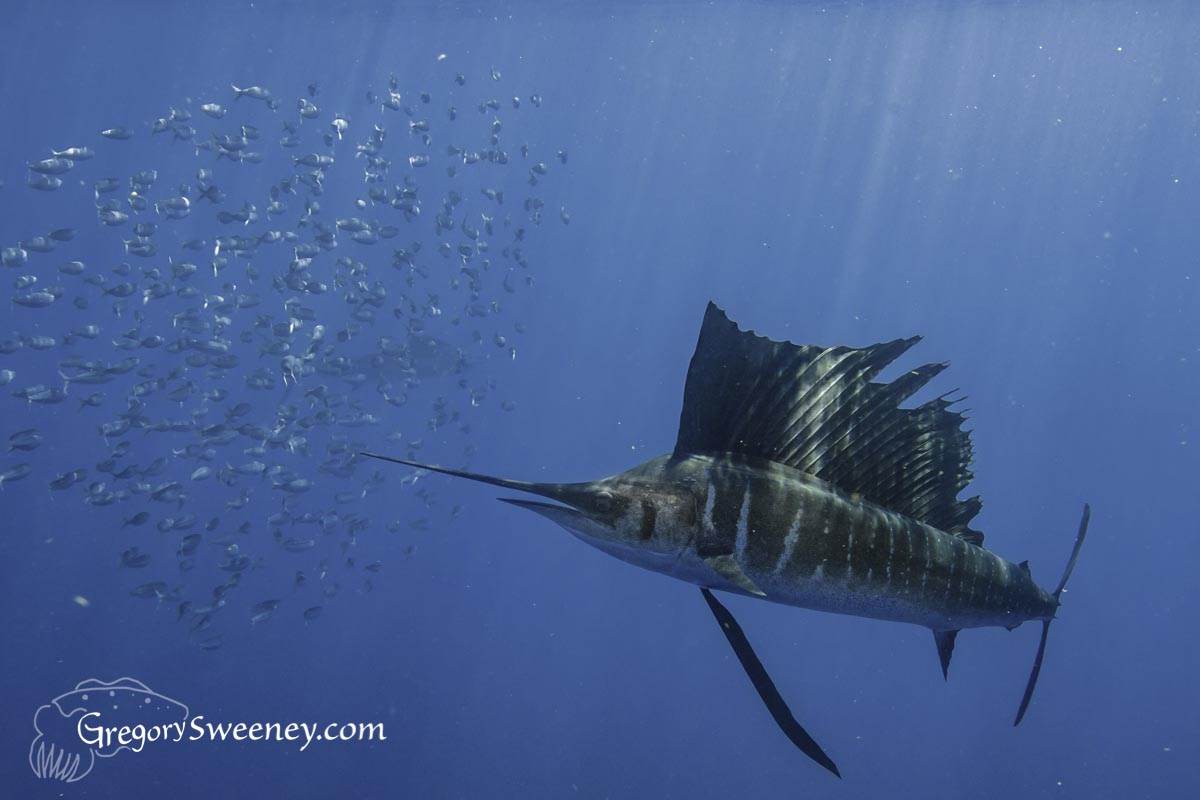 sailfish Mexico