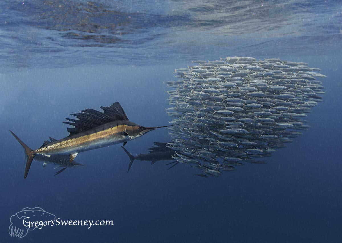 Private charter for sailfish and sardine run mexico