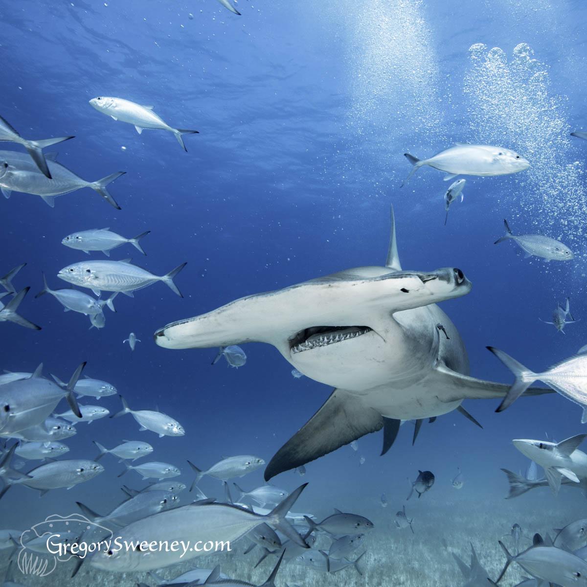Hammerhead dive in Bimini