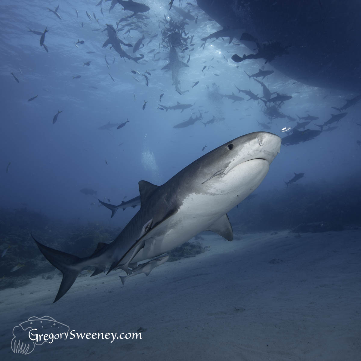 Tiger shark diving in Bahamas