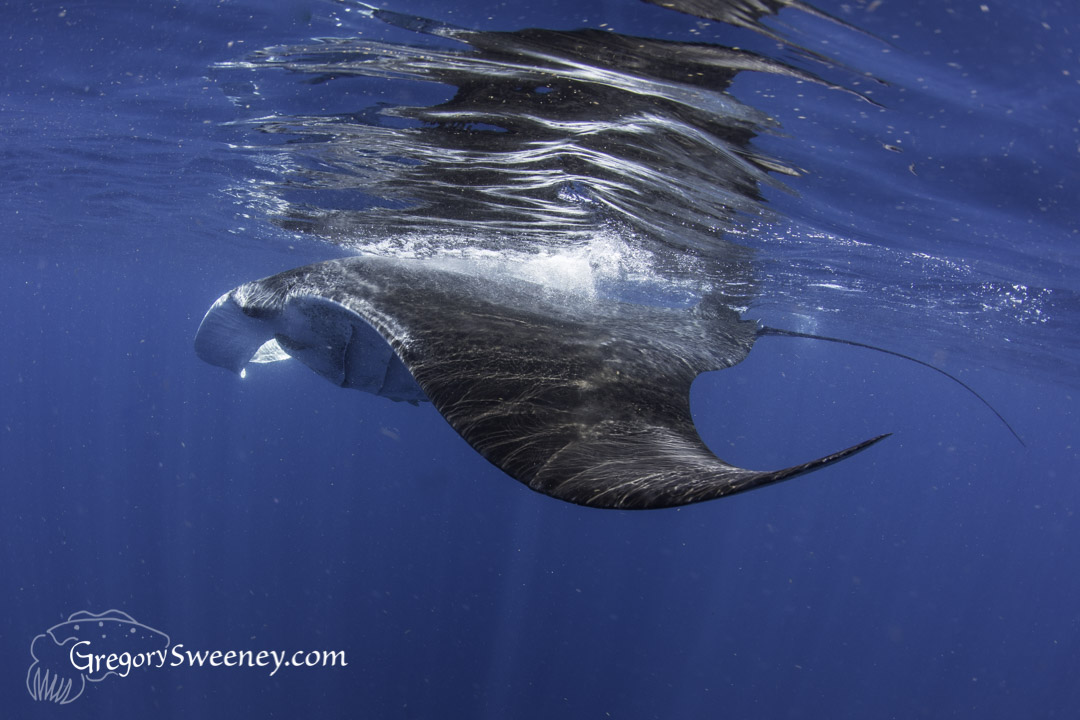 swim with manta ray Isla mujeres
