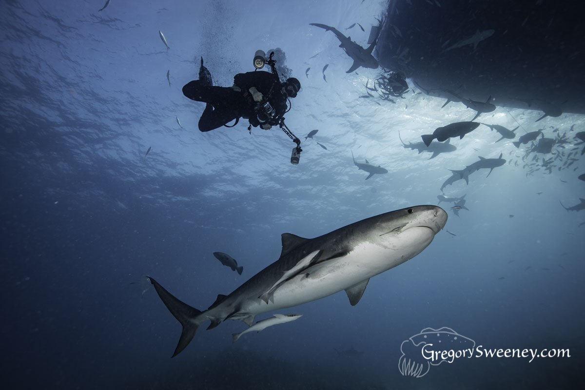 Dive with Tiger Sharks