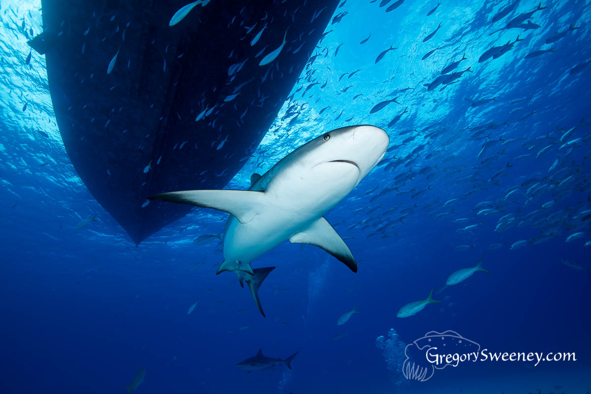 reef shark scuba dive