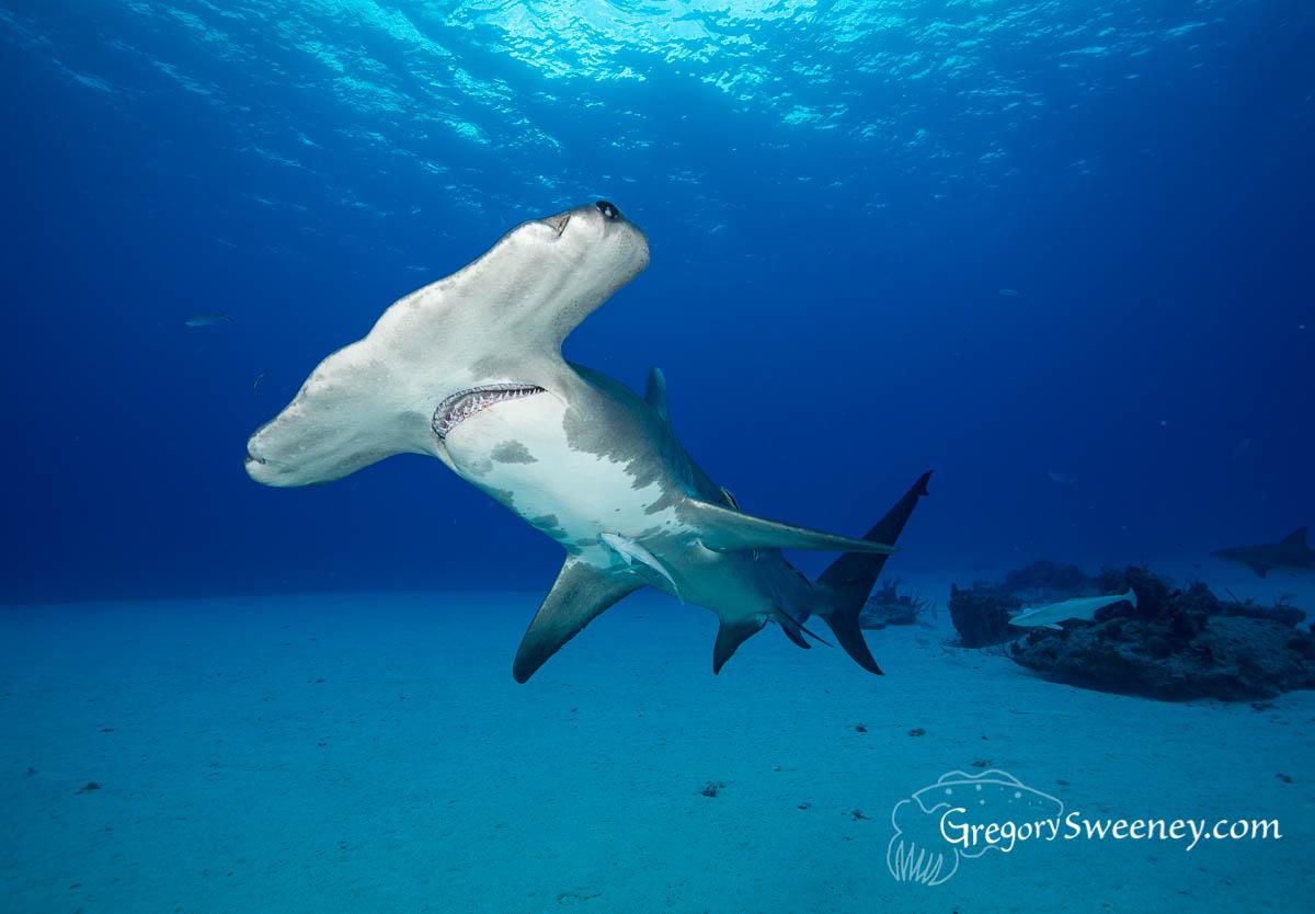 Hammerhead Shark dive Bahamas