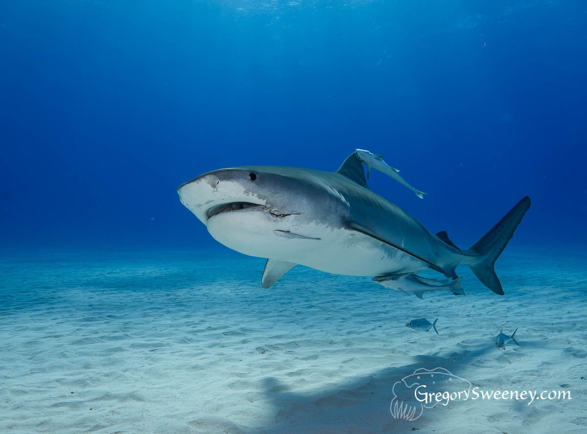 tiger shark dive trip