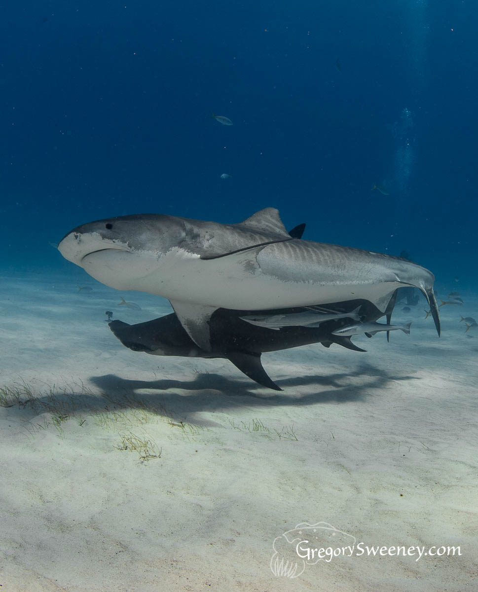 Tiger Shark and Hammerhead