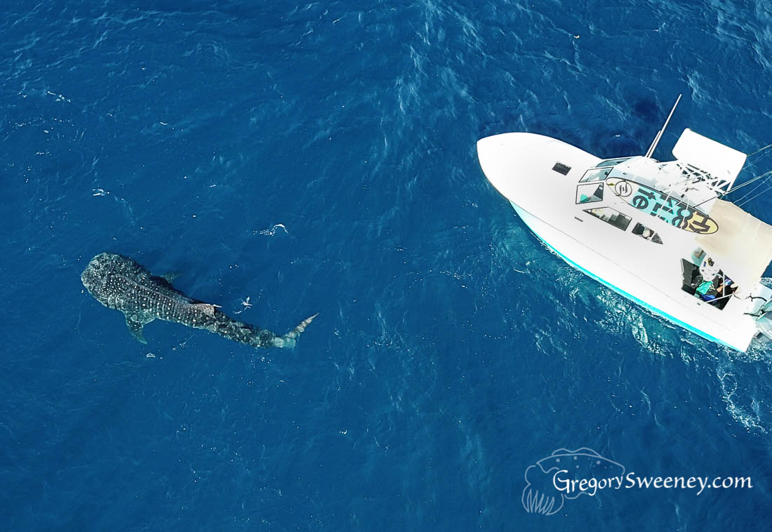 Drone shot Whale Sharks