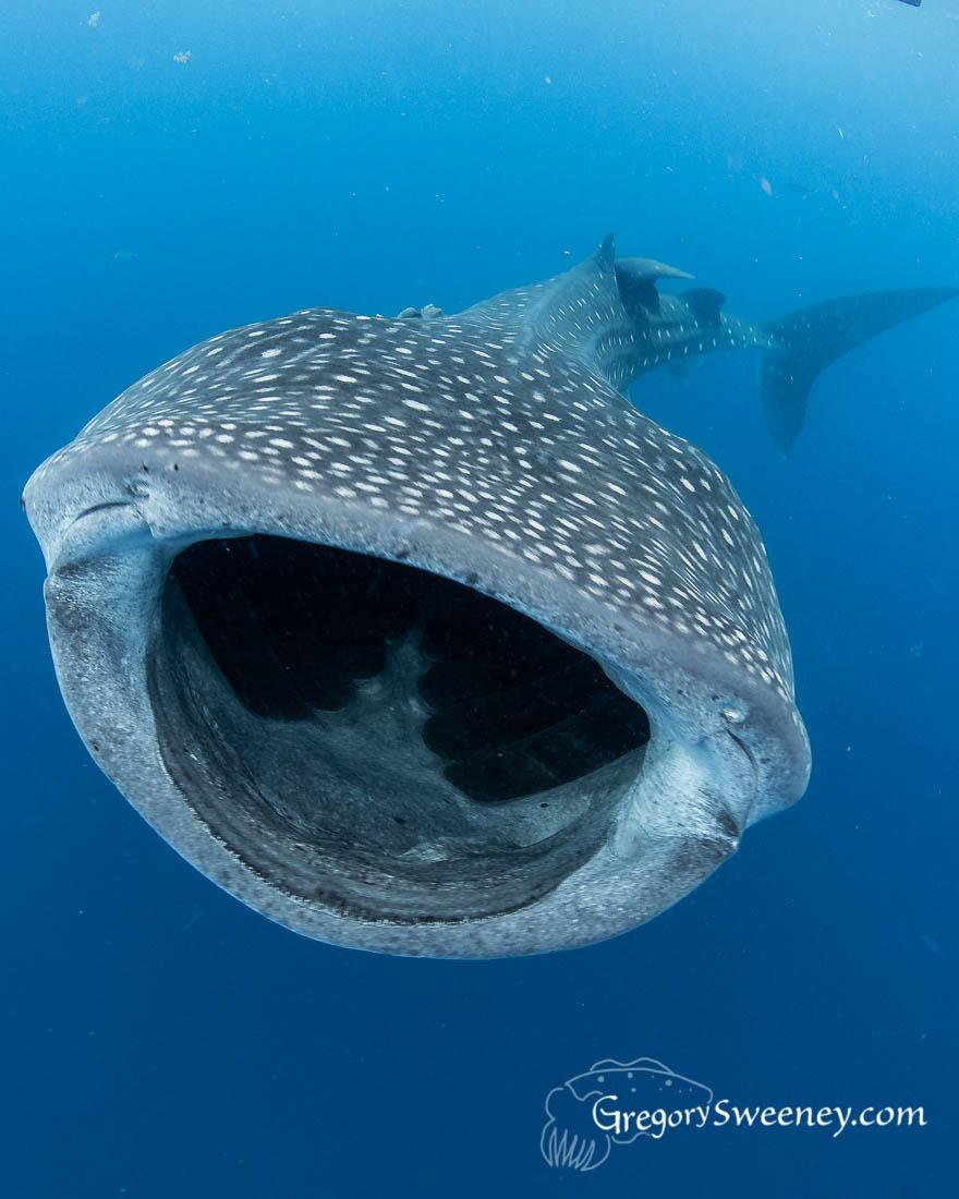 Whale Sharks Isla Mujeres