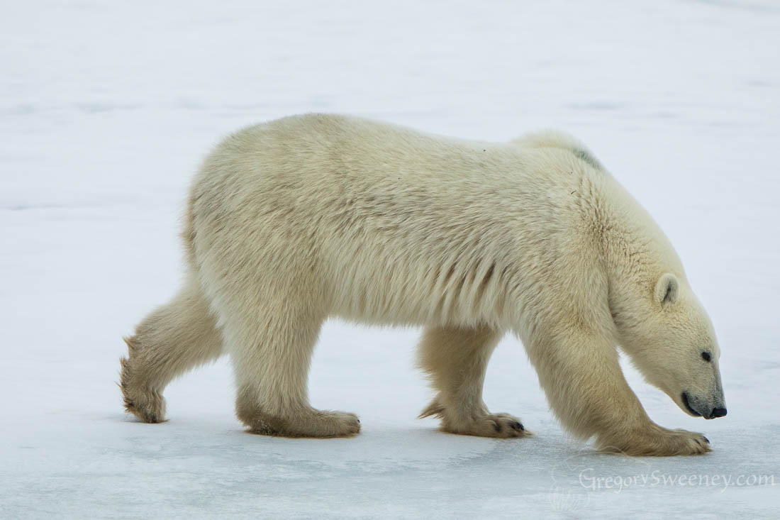Polar Bear in looking for food