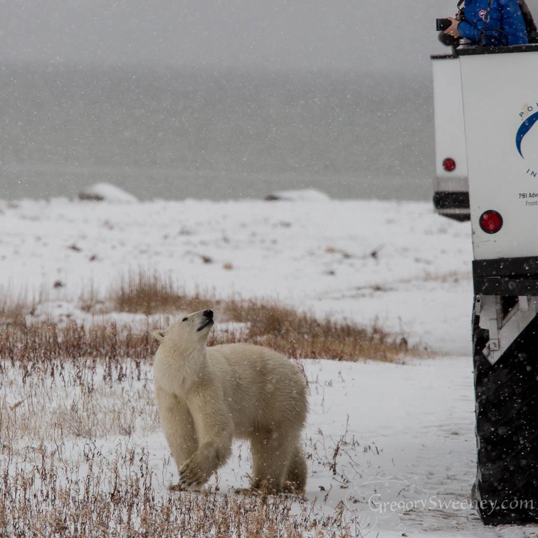 Polar Bear looks at the Tundra Buggy