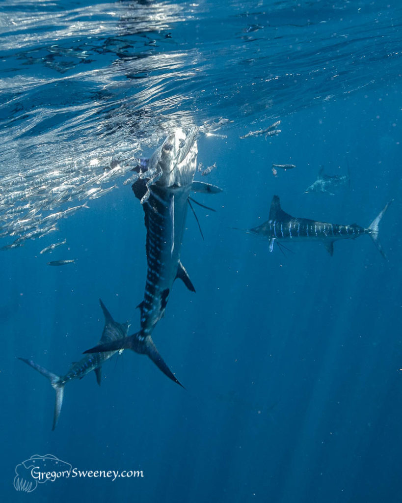 Striped Marlin Sardine Run Mexico