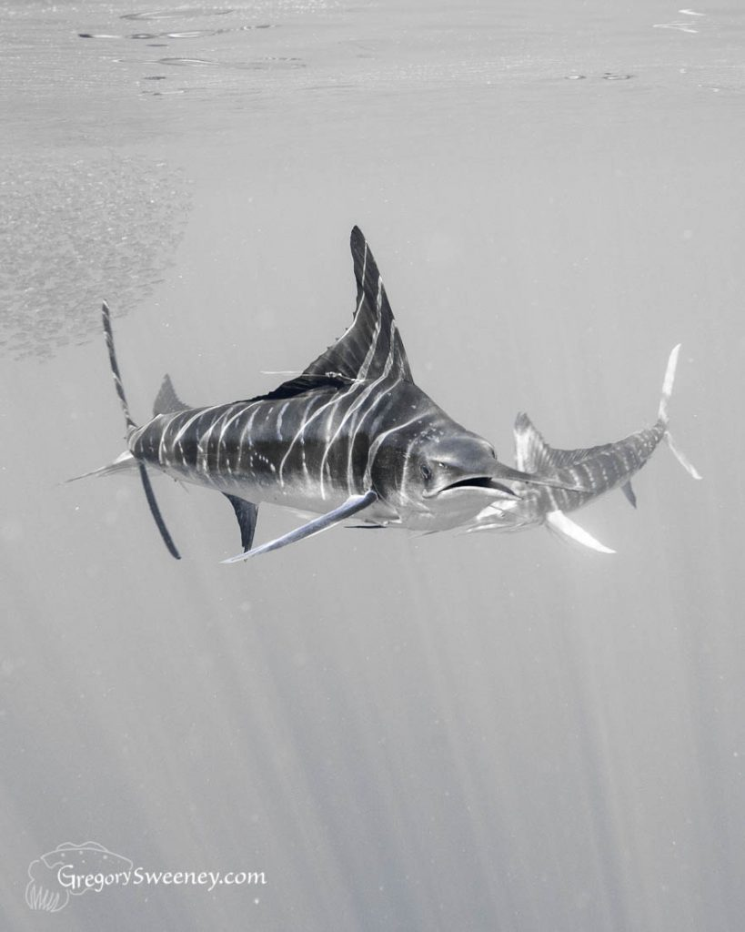 striped marlin Magdalena Bay Mexico