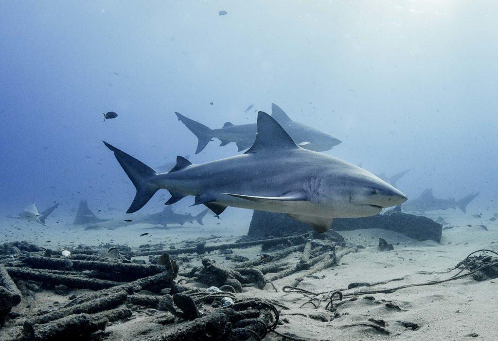 bull sharks at Cabo Pulmo
