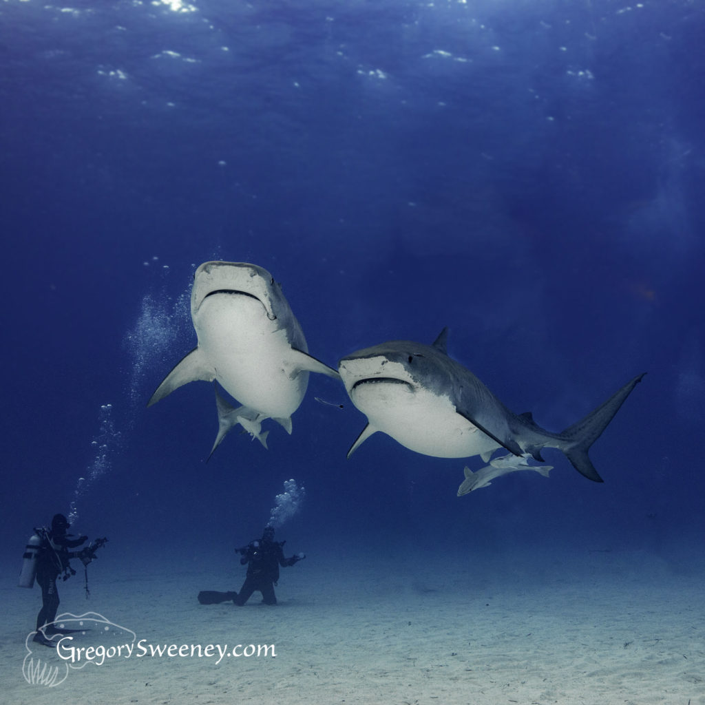scuba dive with sharks