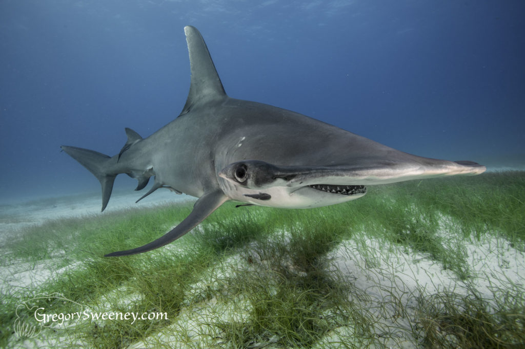 hammerhead shark close up