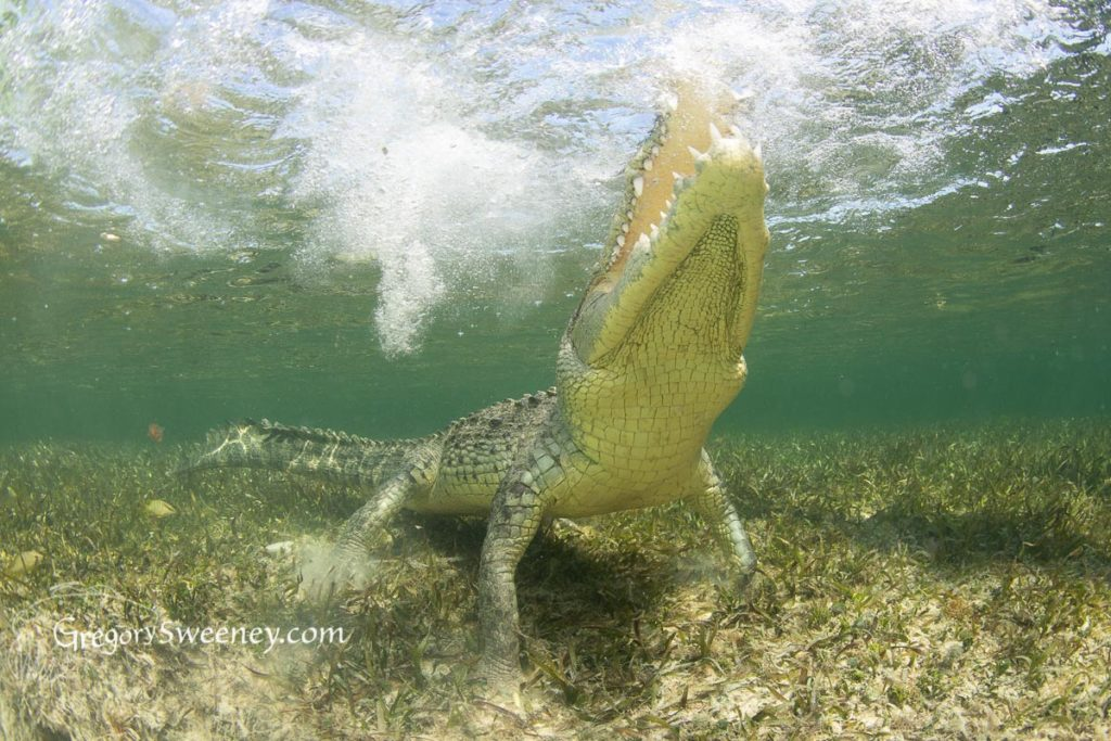 photographing crocodiles in Mexico