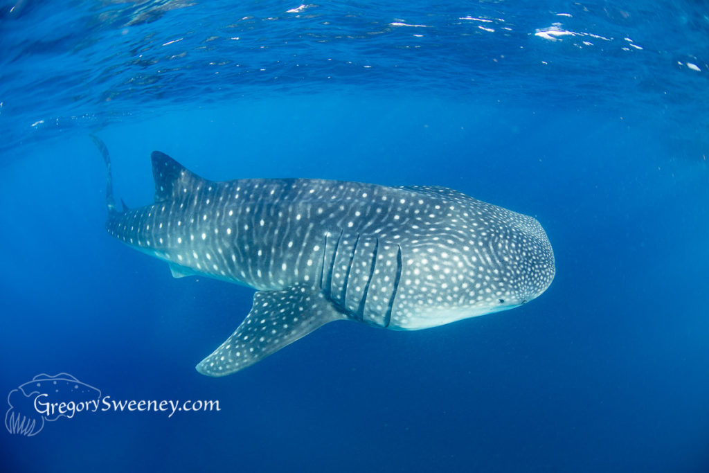 whale shark season Isla Mujeres
