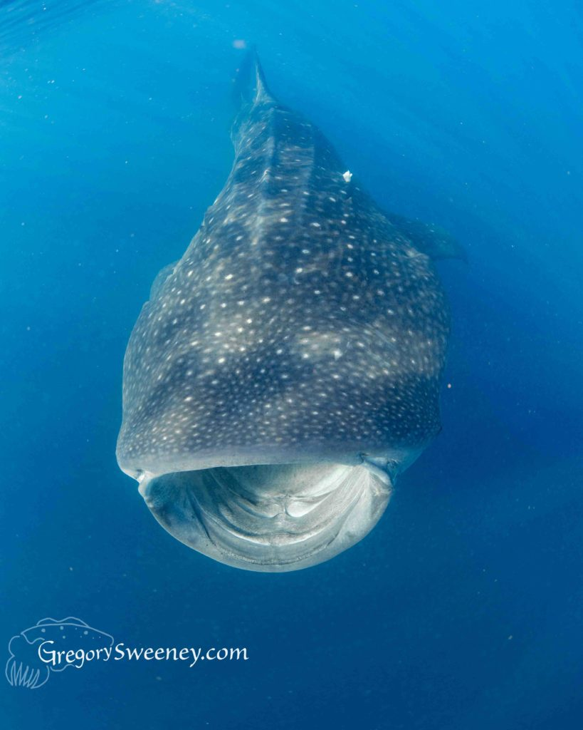 whale shark workshop in Cancun