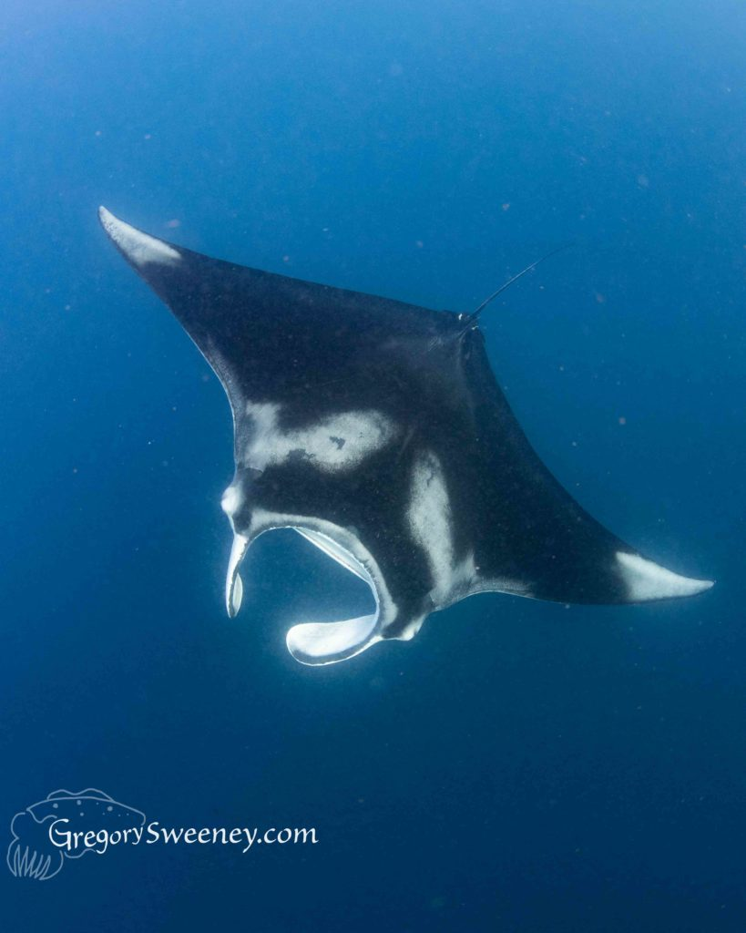 swim with giant manta ray cancun mexico