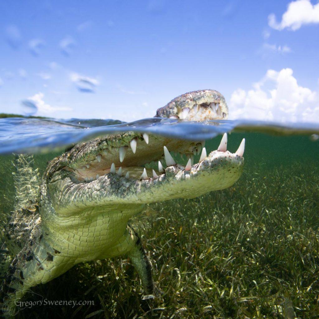 crocodile photography mexico