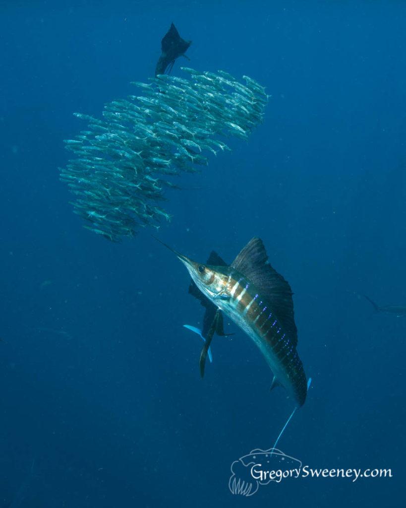 Sailfish sardine run Mexico