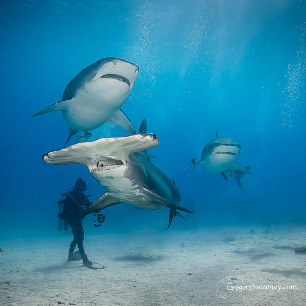 Tiger Beach dive trip Bahamas