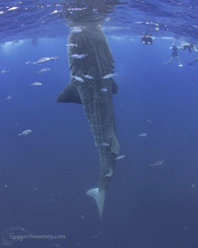 whale shark trips Isla Mujeres