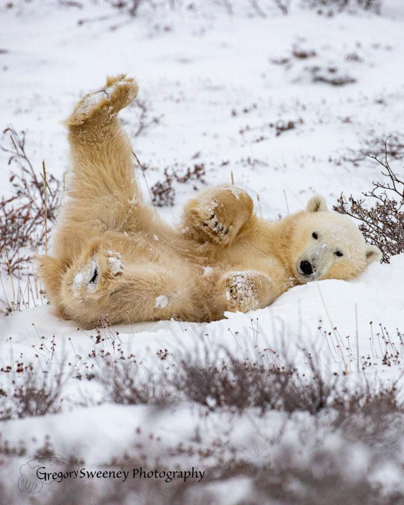 Polar Bear photo Tour Churchill