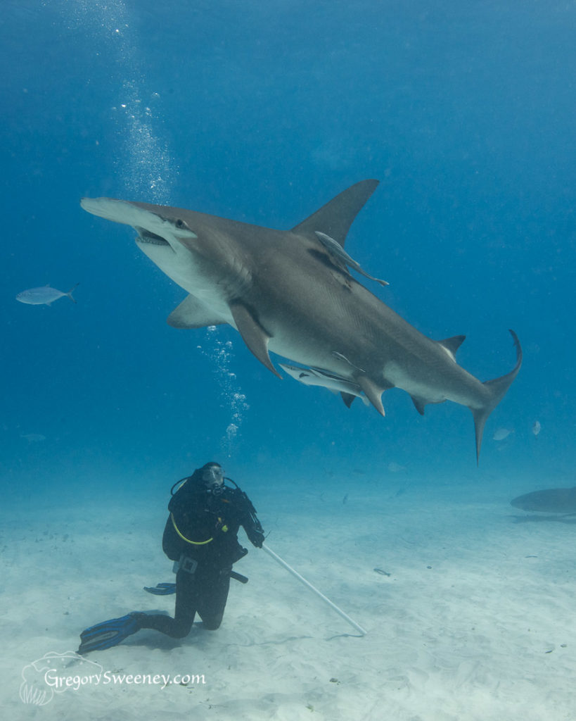 Hammerhead shark and diver