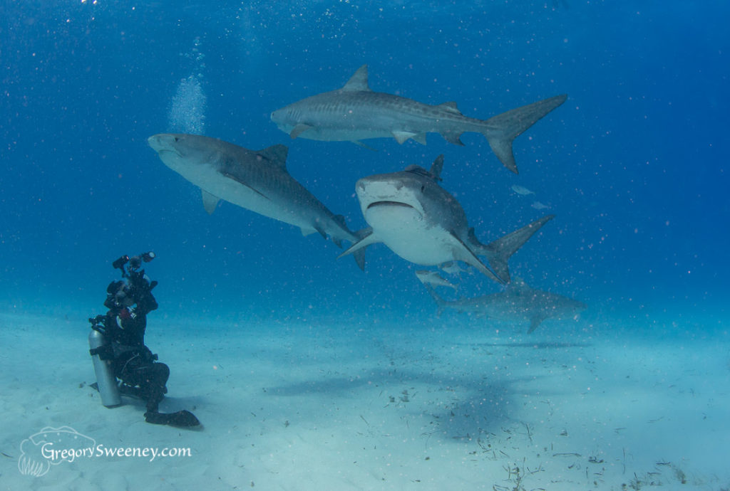 photograph multiple tiger sharks