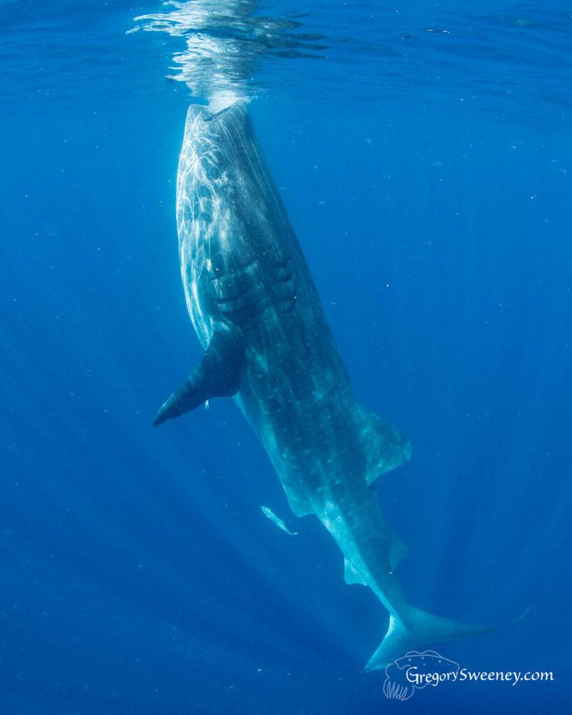 whale shark trip mexico