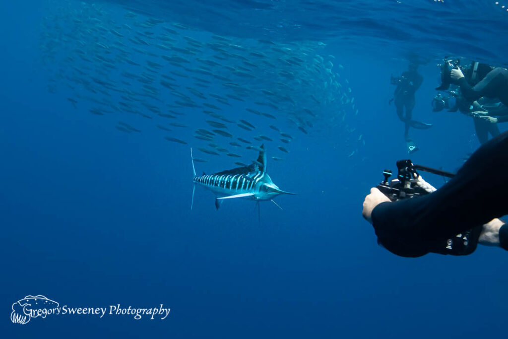 snorkel with striped marlin