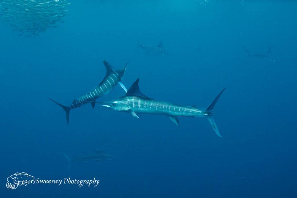 striped marlin hunting sardines