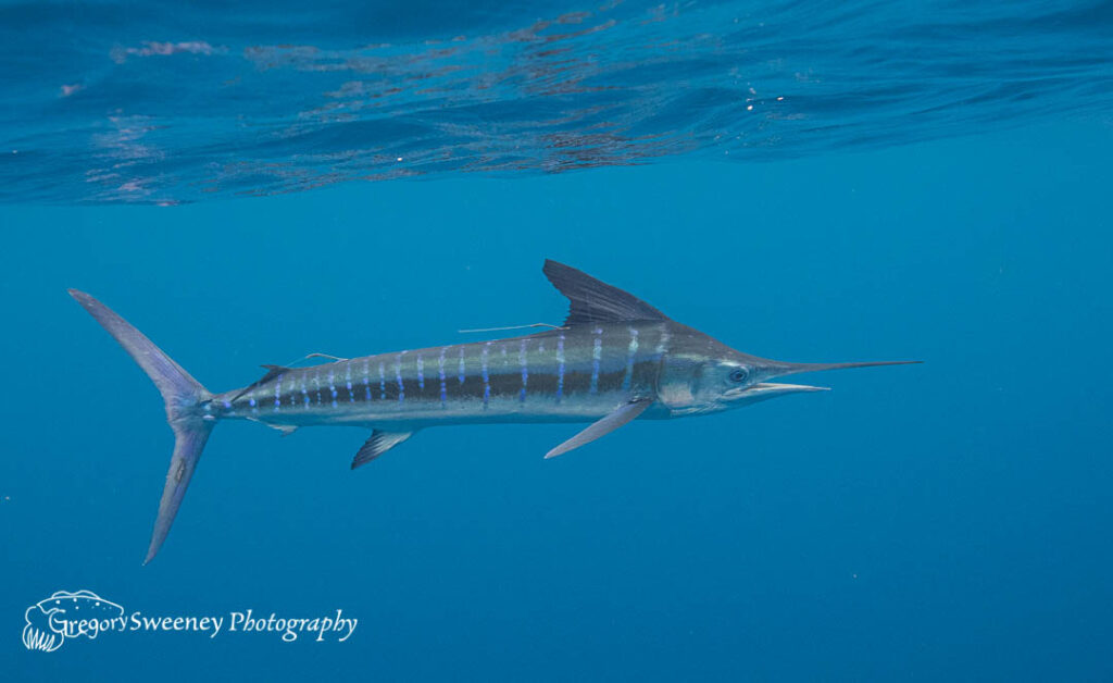 dive with striped marlin