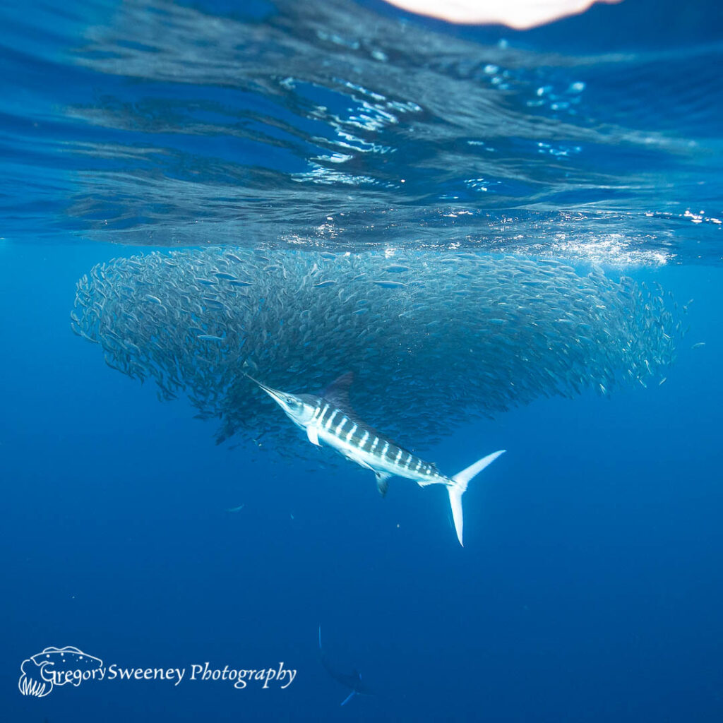 striped marlin Magdalena Bay