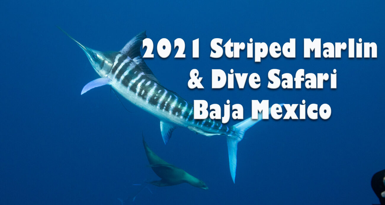 Striped Marlin Sardine Run Trips