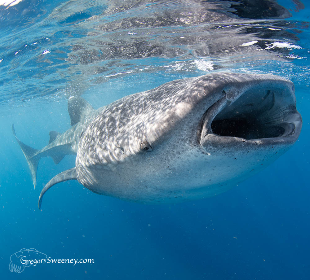swim with whale sharks Mexico