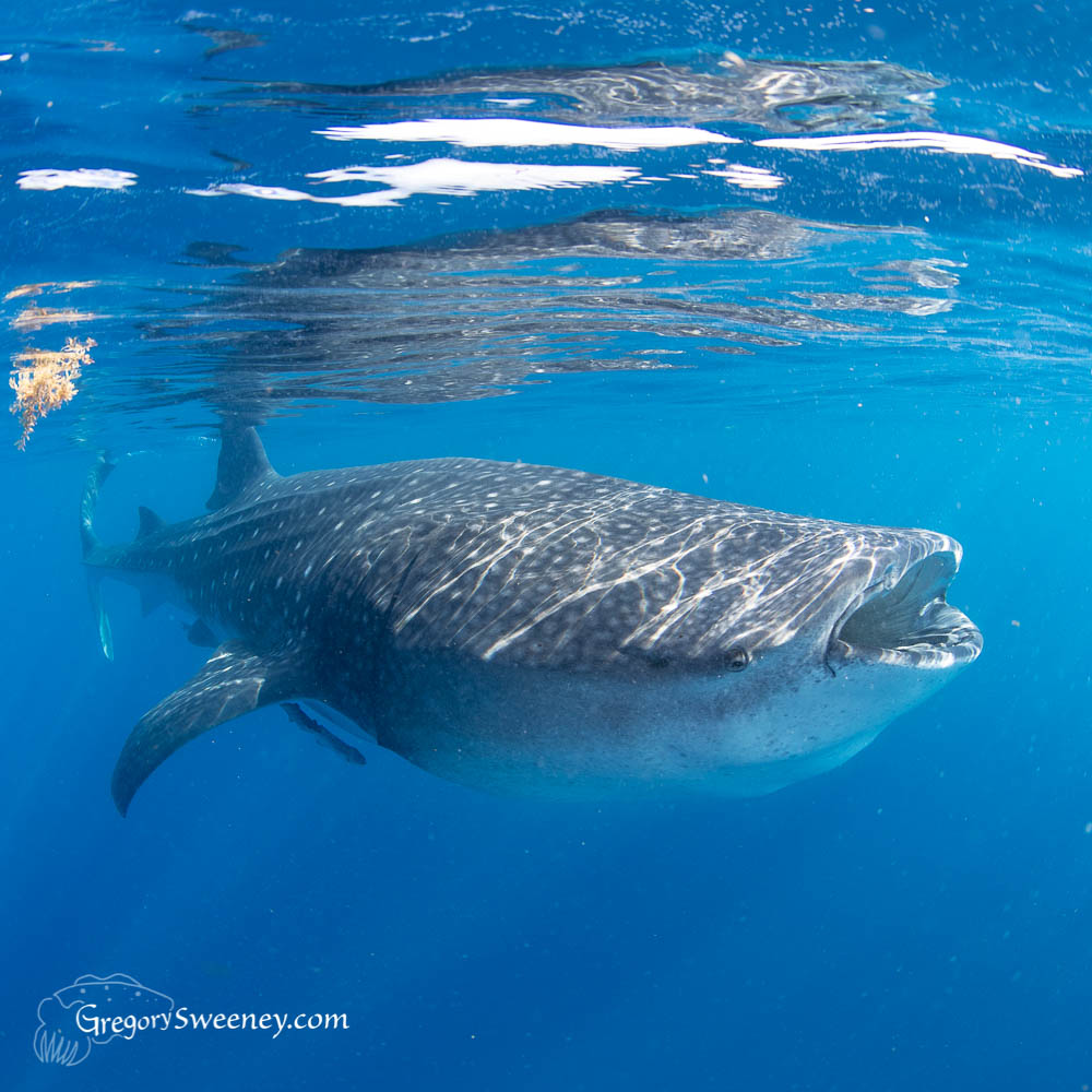 snorkel with whale shark Isla Mujeres