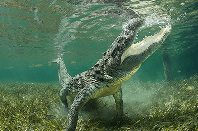 Crocodiles in Chinchorro