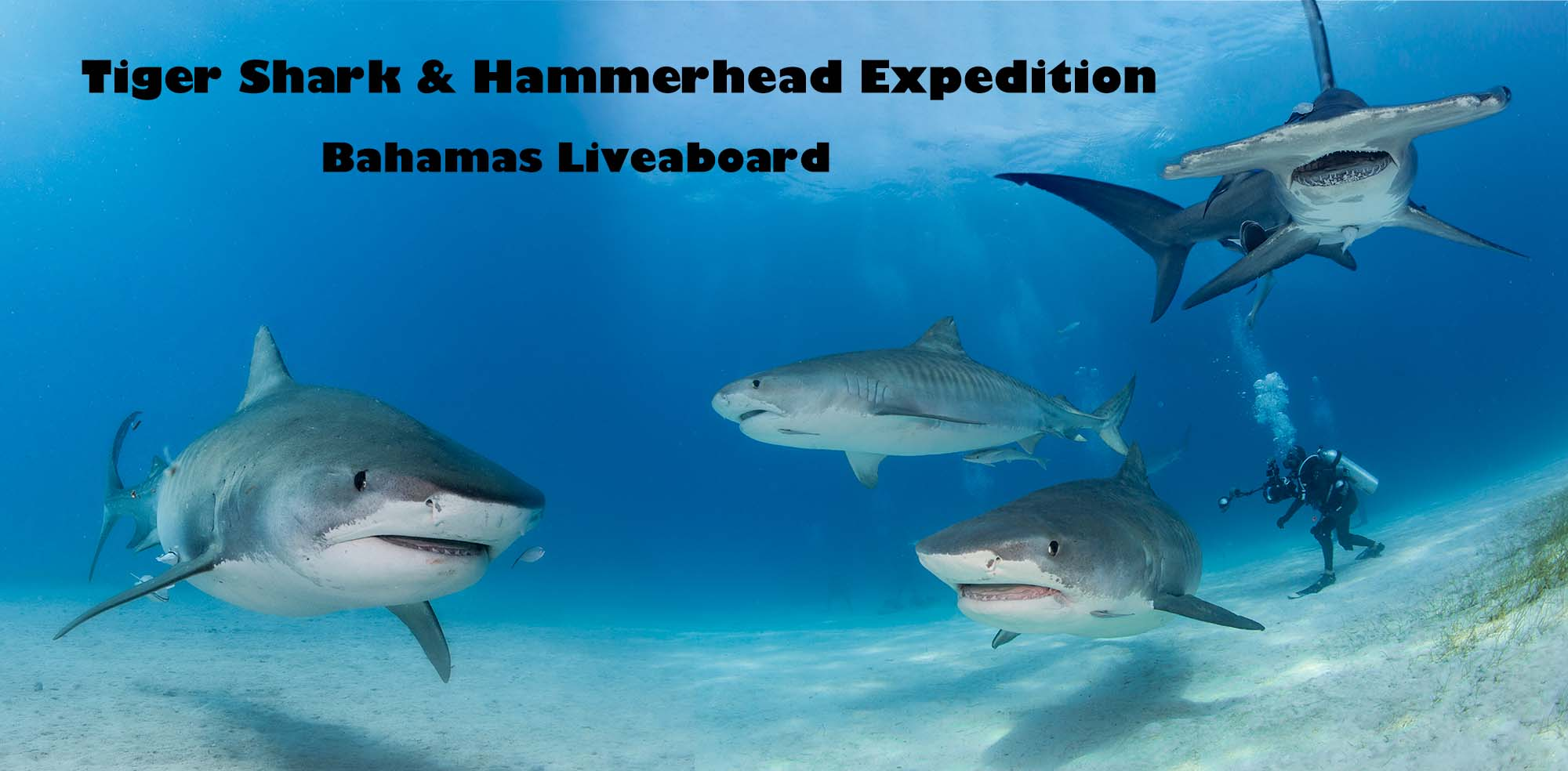 Shark Diving in the Bahamas for Tiger Sharks and Hammerheads