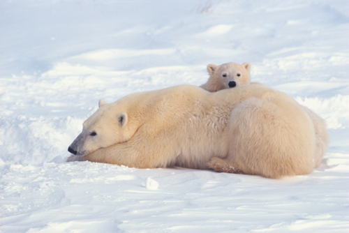 Polar bear mother and cub in the Churchill Wildlife Management Area